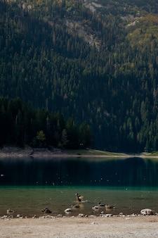 Canards. paysage naturel. lac de montagne, monténégro, parc national de durmitor