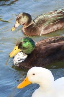 Canards qui nagent