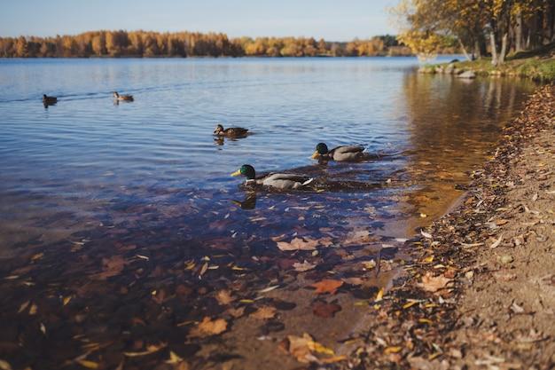 Canards sur la rivière
