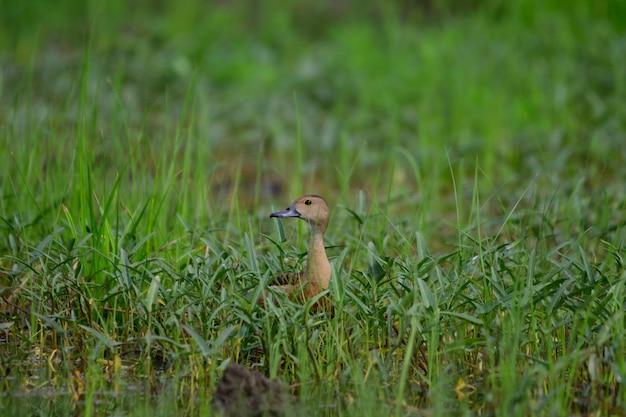 Les canards rouges vivent dans la forêt.