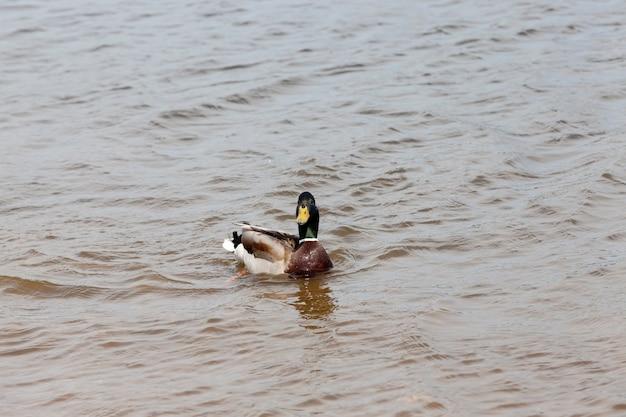 Canards sauvages au printemps ou en été dans la nature, beaux canards sauvages dans la nature