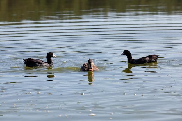 Canards sauvages flottants dans l'eau du lac ou de la rivière, canards sauvages flottant sur le lac, beaux canards de sauvagine dans l'eau