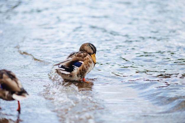 Canards sauvages près de l'eau