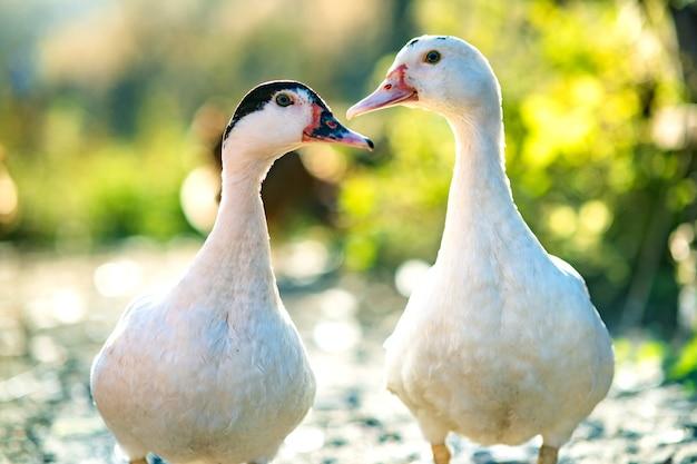 Les canards se nourrissent de la basse-cour rurale traditionnelle. détail d'une tête de canard. grand plan, de, oiseau eau, debout, sur, grange, yard. concept d'élevage de volailles en libre parcours.
