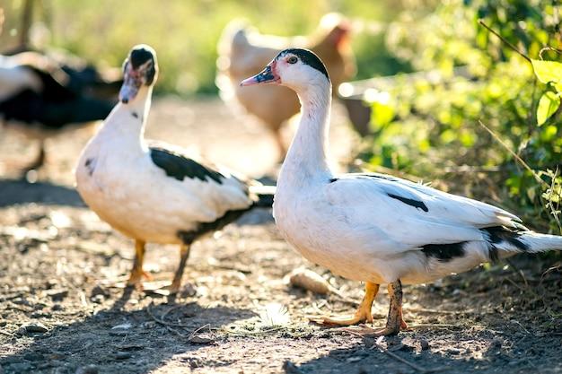 Les canards se nourrissent de basse-cour rurale traditionnelle.