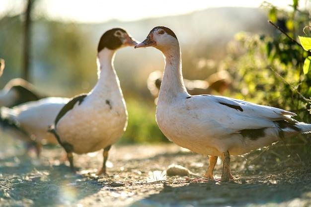 Les canards se nourrissent de basse-cour rurale traditionnelle