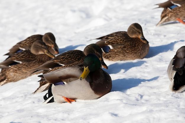 Les canards sont assis dans la neige