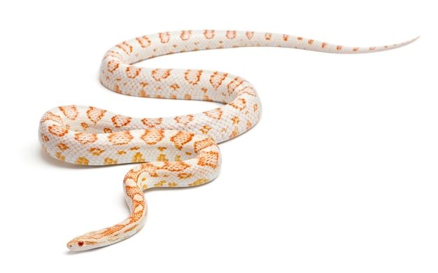 Candy cane corn snake ou red rat snake, pantherophis guttatus, in front of white background
