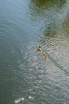 La cane et les canetons flottent dans le lac