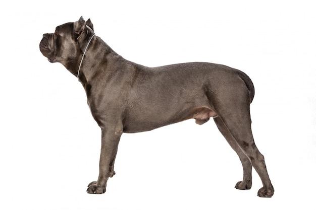 Cane corso chien sur surface blanche