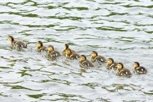 Caneton dans l'étang