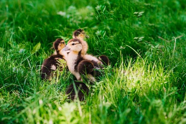 Canetons dans l'herbe verte