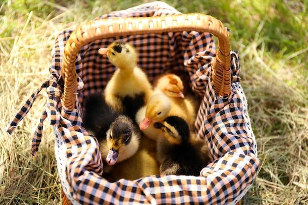 Canetons mignons ensemble dans le panier