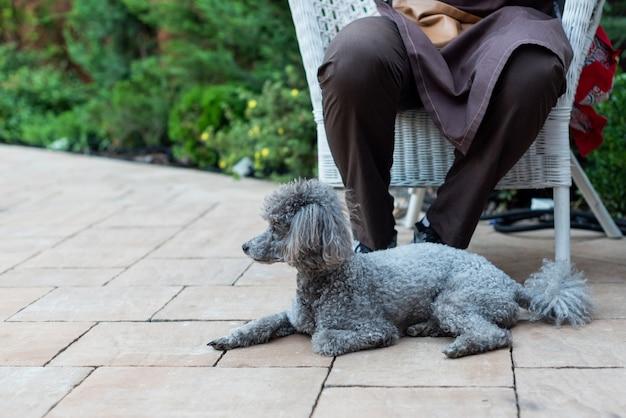 Un caniche gris mignon de chien se trouve aux pieds de son maître fidélité d'animal familier