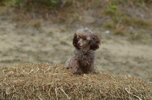 Caniche toy brun mignon assis sur une caution de foin.
