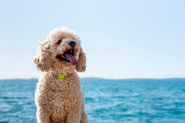 Caniche vue de face au bord de mer
