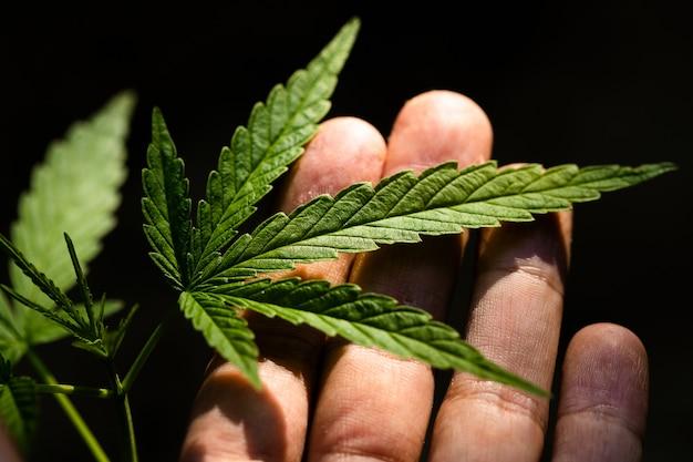 Cannabis sur fond sombre
