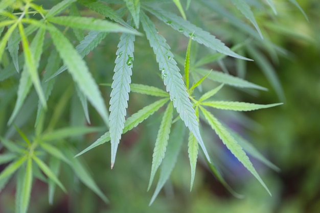Cannabis frais ou chanvre dans un jardin d'herbes biologiques.
