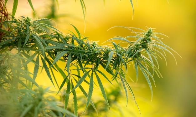 Cannabis médical, plante, jeune pousse sur fond jaune.