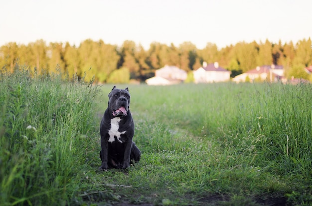Canne italienne chien corso.