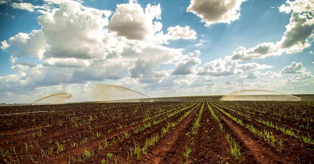 Canne à sucre au coucher du soleil belle irrigation