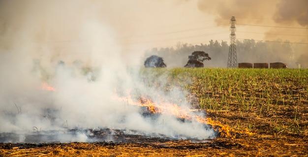 Canne à sucre plantation de feu