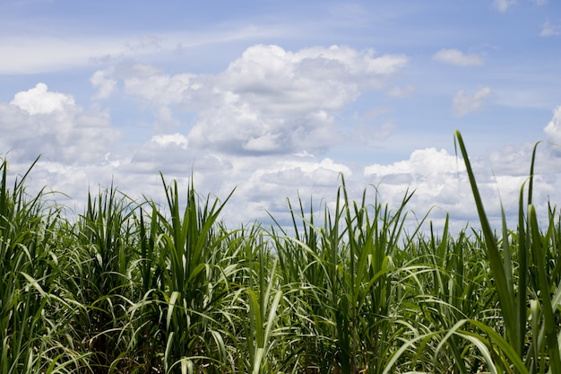 Canne à sucre a volé avec le ciel bleu pour le fond
