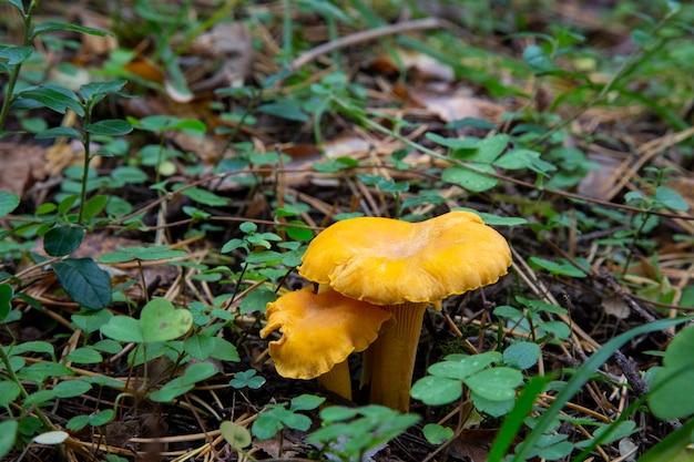 Cantharellus cibarius chanterelle dans la forêt parmi la mousse. un champignon comestible.