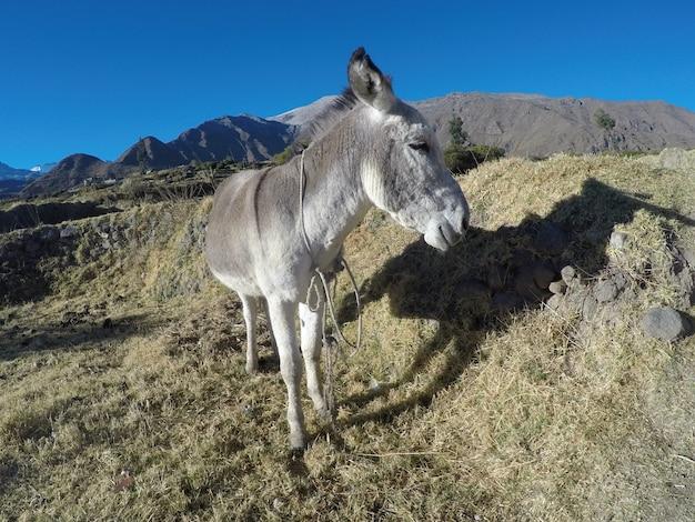 Canyon de colca, un bel âne à l'ascension du trekking du canyon de colca