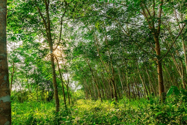Caoutchouc de plantation ou caoutchouc d'hévéa ou hévéa sud de la thaïlande
