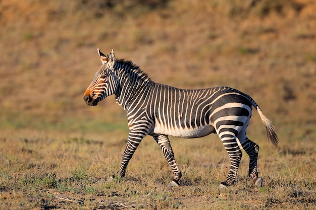 Cape mountain zebra (equus zebra) dans l'habitat naturel, mountain zebra national park, afrique du sud
