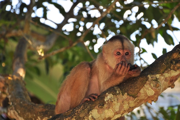 Cappuchine monkey