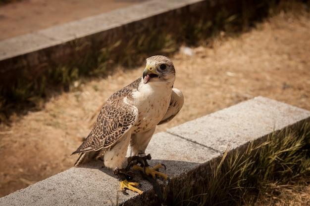 Capture d'écran d'un faucon sacre perché sur une pierre