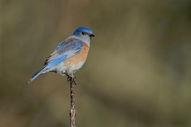 Capture d'écran d'un oiseau bleu de l'est assis sur une branche d'arbre avec une verdure floue