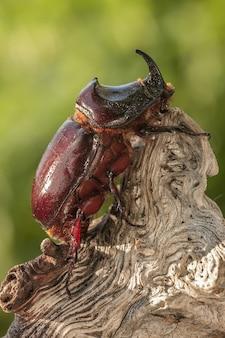 Capture d'écran d'un scarabée rhinocéros européen perché sur un journal