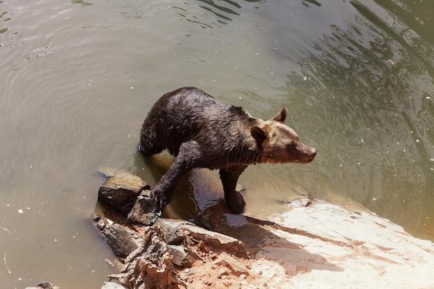 Capture en grand angle d'un adorable ours brun dans l'eau