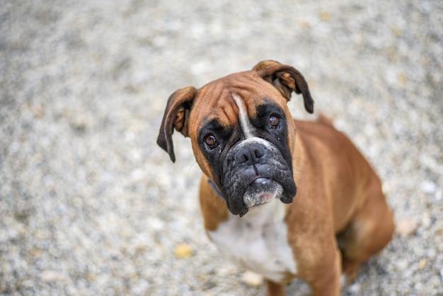 Capture en grand angle d'un chien boxer mignon