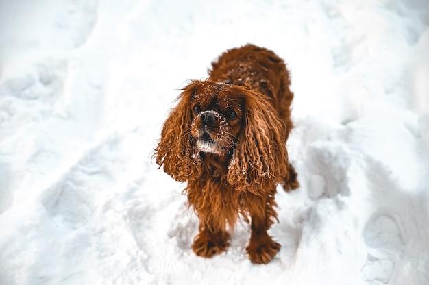 Capture en grand angle d'un chien cocker anglais jouant dans la neige