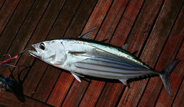 Capture de listao thon poisson portrait détail fruits de mer