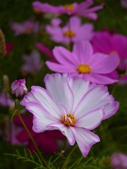 Capture de mise au point sélective verticale de fleurs de cosmos
