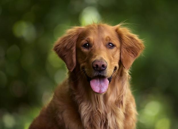 Capture sélective d'un adorable golden retriever à l'extérieur