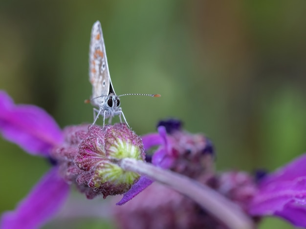 Capture sélective d'un beau papillon sur la fleur pourpre