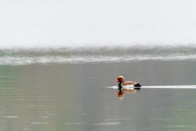 Capture sélective d'un canard coloré dans l'étang