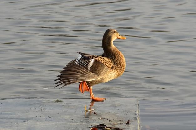 Capture sélective d'un canard colvert femelle debout sur un péroné sur la baie de la rivière