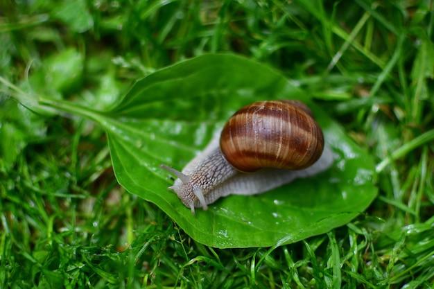 Capture sélective d'un escargot de raisin sur une feuille après la pluie