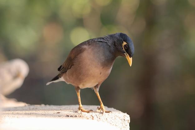 Capture sélective d'un oiseau myna perché à l'extérieur