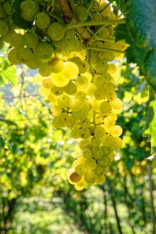 Capture sélective de raisins juteux mûrs et frais poussant sur des branches dans un vignoble