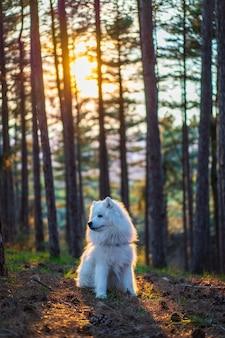 Capture verticale d'un chien samoyède dans la forêt