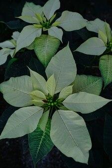 Capture verticale en grand angle des fleurs de poinsettia dans un jardin