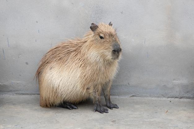 Capybara assis par terre